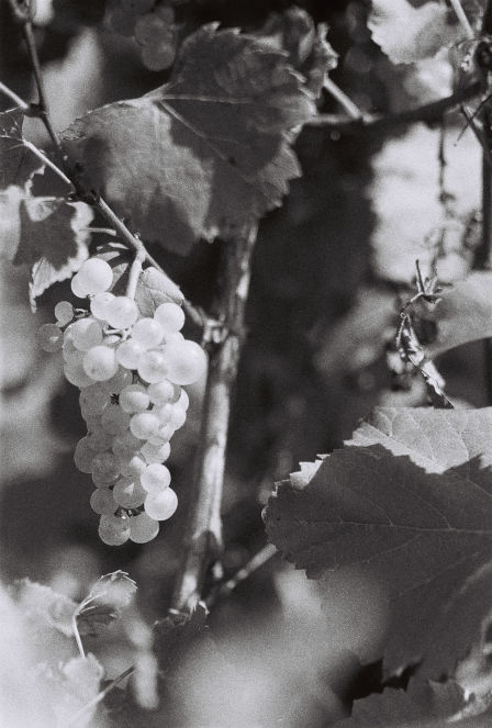 Grappe de raisins vendanges Tripoz